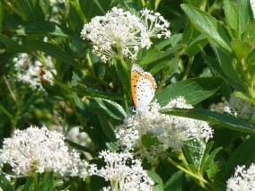 Bronze Copper - Narrow-leaf New Jersey Tea -- R Addison