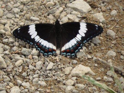 White Admiral - Curry